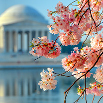 Carynesplin-cherryblossomsjeffersonmem_medium