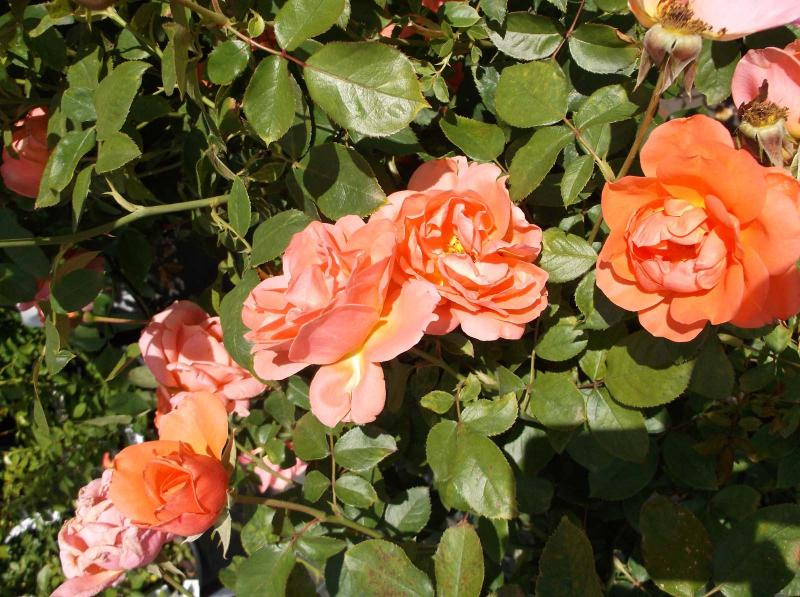 Live Plant Double Flower Fragrant Rose Bush Garden Sugar Moon White Roses 3 Gal