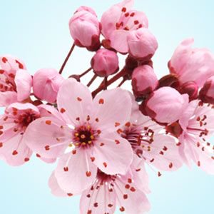 Japanese Cherry Blossom On Storenvy